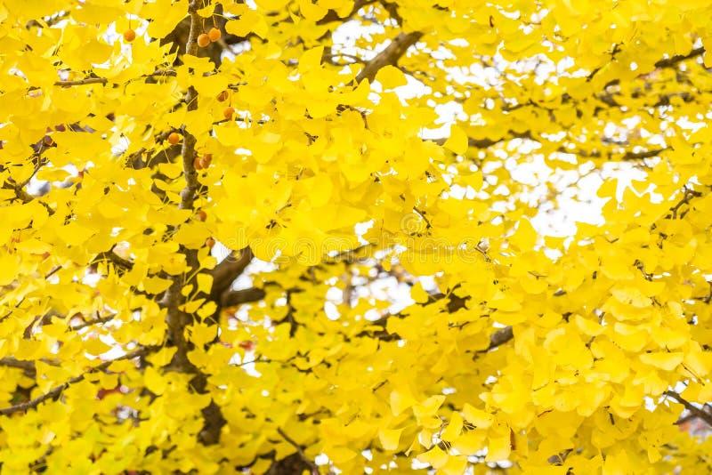 Yellow ginkgo leaf tree. Beautiful yellow ginkgo leaf tree in autumn season royalty free stock photos