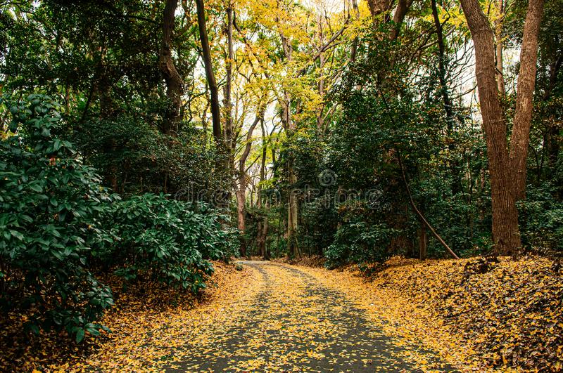 Yellow Ginkgo leaves covered ground and lush green forest at Meiji Jingu Shrine park- Tokyo green space royalty free stock images