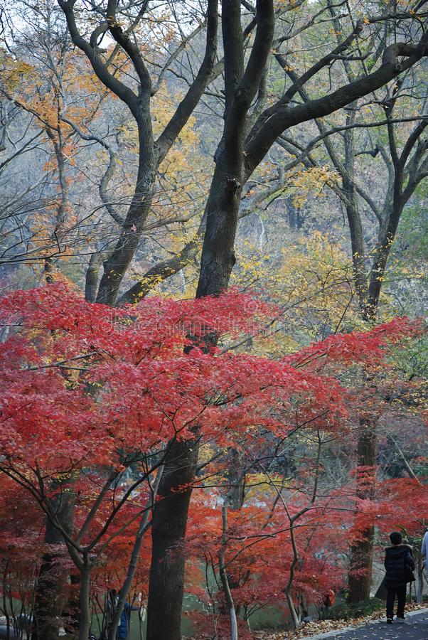 Red and Yellow Leaves at Xixia Mountain, Nanjing China royalty free stock photography