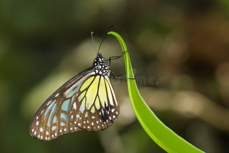 Download Yellow Glassy Tiger Butterfly Stock Image - Image: 6514583