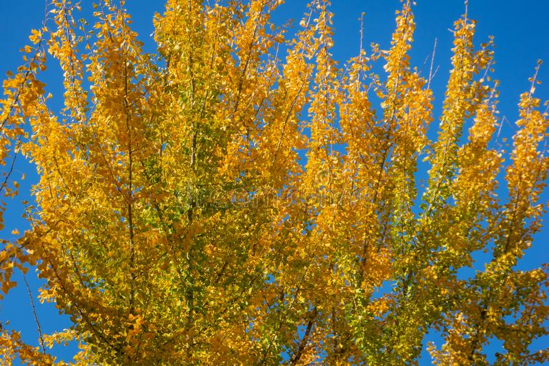 Yellow and gold leaves of big Ginkgo biloba trees against the blue sky. Golden foliage like a lush yellow cloud. Elegant nature concept for design royalty free stock photography
