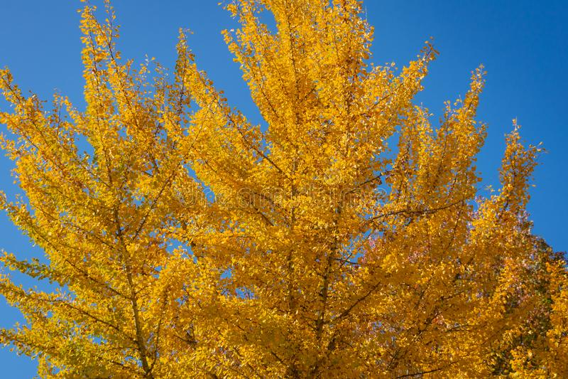 Yellow and gold leaves of big Ginkgo biloba trees against the blue sky. Golden foliage like a lush yellow cloud. Elegant nature concept for design royalty free stock photos