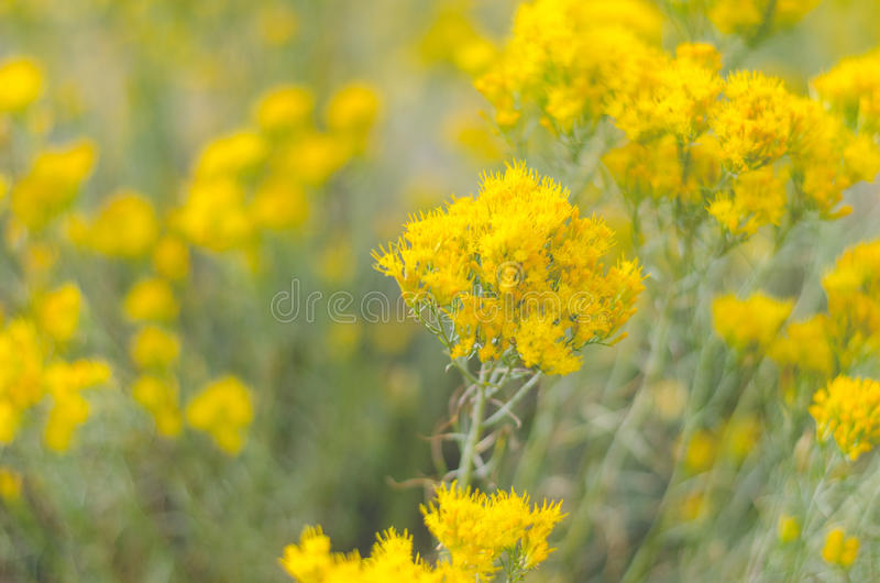 Yellow and gold wildflowers stock photo