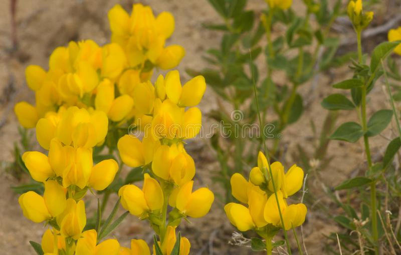 Yellow Golden Banner Wildflowers Closeup In Late Afternoon Sunshine stock images
