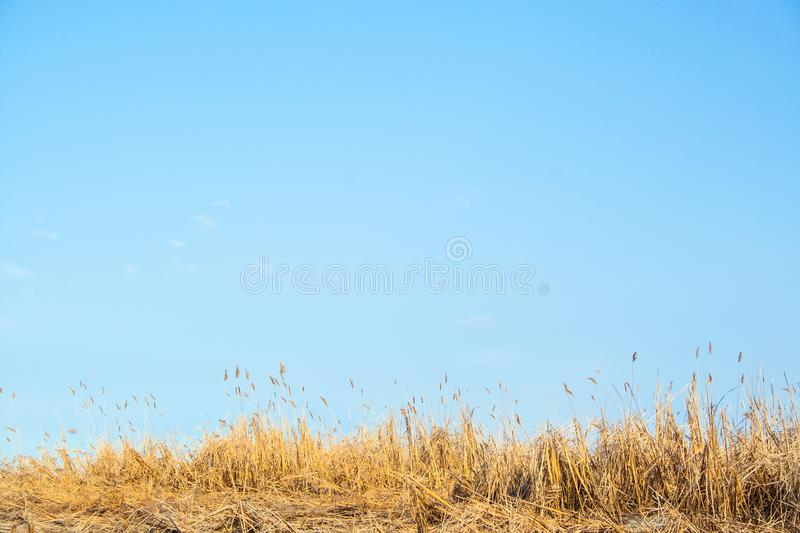 Bulrush and sky royalty free stock image
