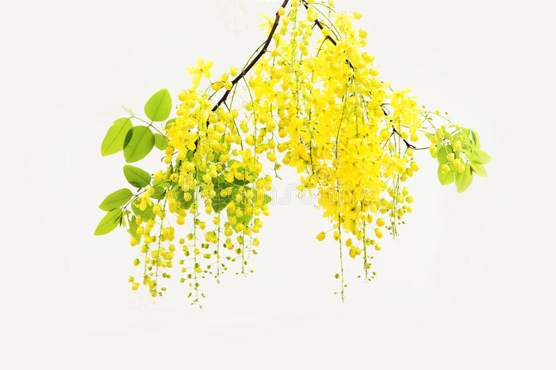 yellow Golden shower ,Cassia fistula flower isolate on white background royalty free stock photography