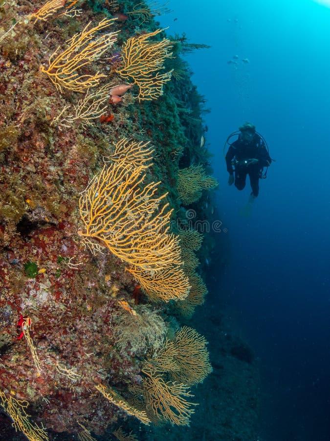 Yellow gorgonian, Eunicella cavolini, at Solchiaro Point. Procida, Mediterranean Sea. Female diver inspecting abundant Yellow gorgonian, Eunicella cavolini stock image