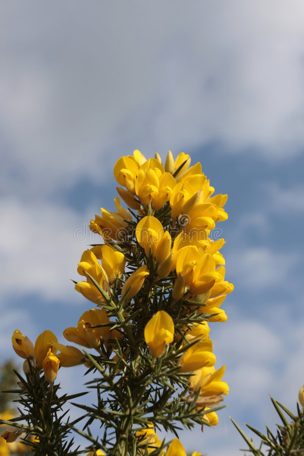 Yellow gorse flowers royalty free stock photos