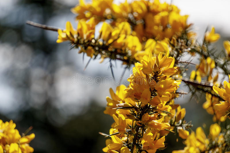 Yellow gorse with sharp spines. In scotland royalty free stock photo