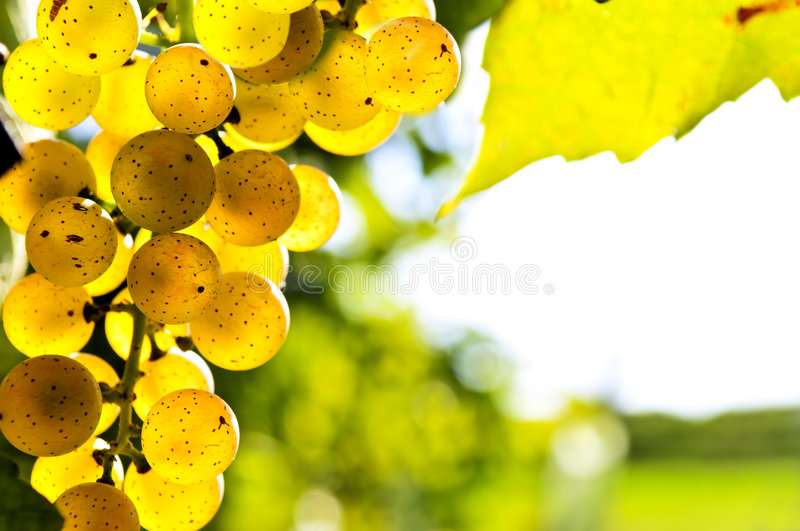 Yellow grapes. Growing on vine in bright sunshine stock photo