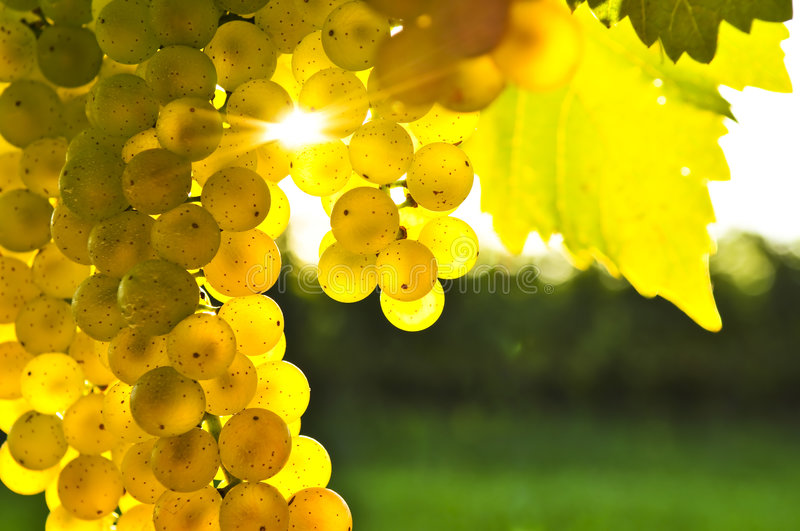 Yellow grapes. Growing on vine in bright sunshine royalty free stock photography