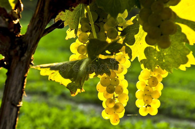 Yellow grapes. Growing on vine in bright sunshine stock images