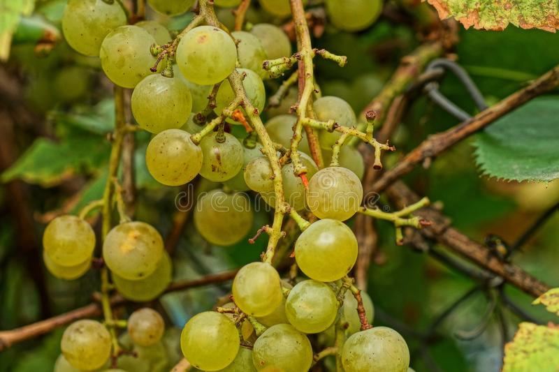 Yellow grapes on a branch with green leaves. In the garden royalty free stock images