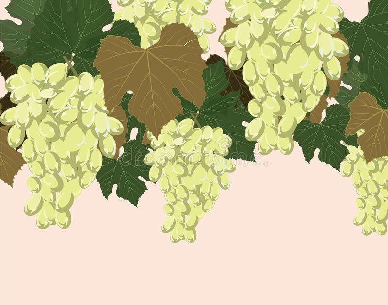 Yellow Grapes clusters background. Yellow Grapes clusters with leaves . Vector illustration royalty free illustration