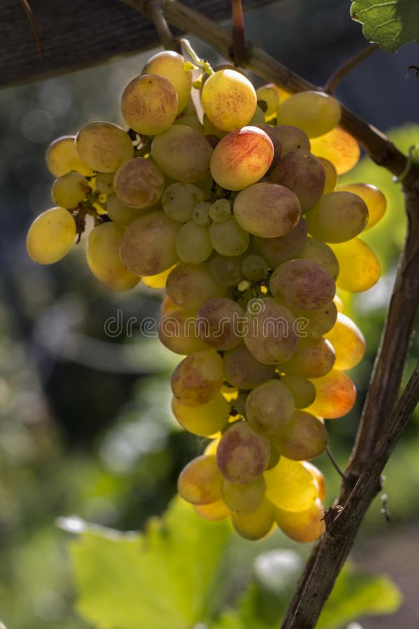 Yellow grapes hanging on a vine illuminated by bright sunlight royalty free stock photo