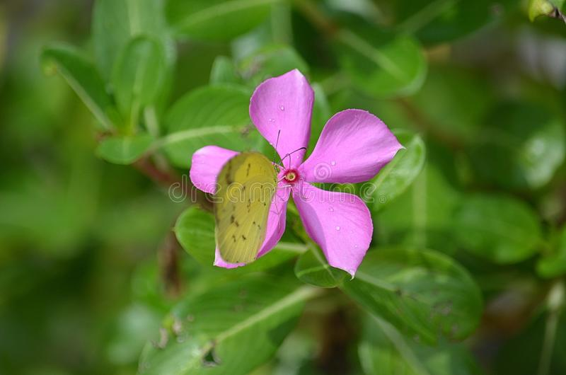 Yellow Grass butterfly sucks nectar from a beautiful Pink Periwinkle flower in Thailand. The beautiful Pink Periwinkle wildflower quickly spreads in tropical stock images
