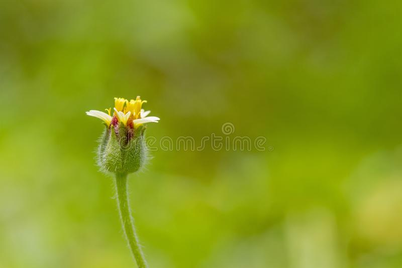 1 yellow grass flower against a green background royalty free stock photos