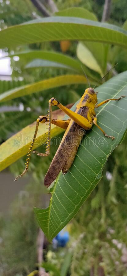 Yellow Grasshopper and green leaf stock images