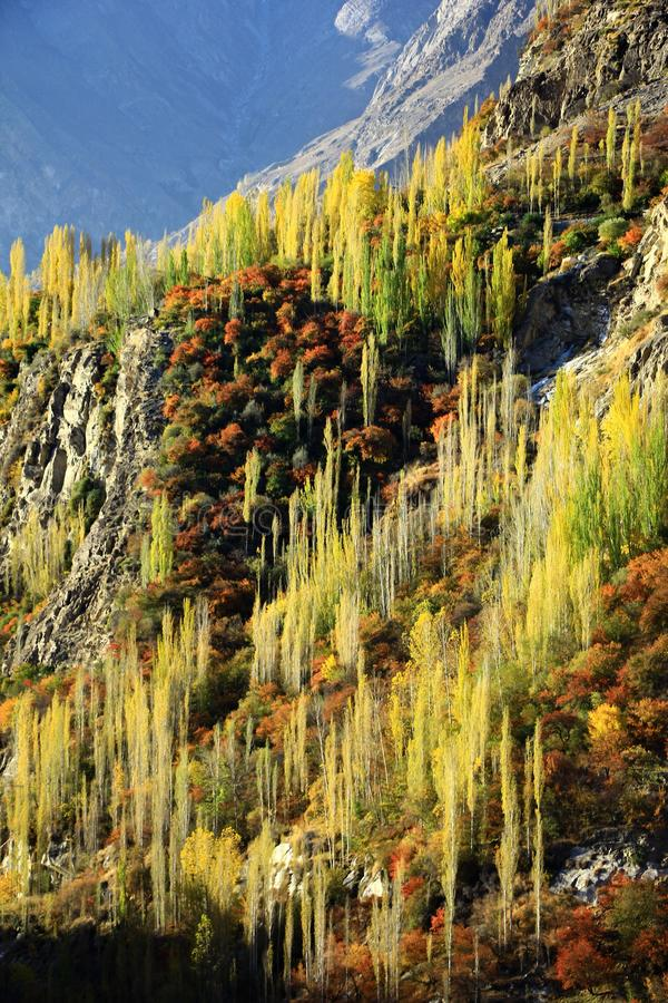 Yellow and Green of autumn trees on hillside. Under sunlight along the Karakorum highway in North of Pakistan royalty free stock image