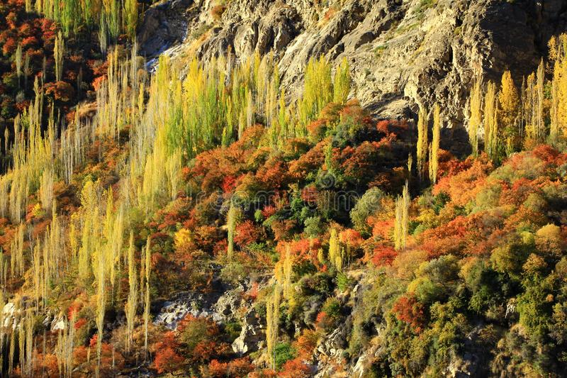 Yellow and Green of autumn trees on hillside. Under sunlight along the Karakorum highway in North of Pakistan stock photo
