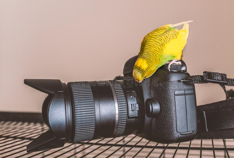 Yellow and green budgerigar parakeet sits on an pecks curiously a DSLR camera and zoom lens that is on top of her cage. stock images