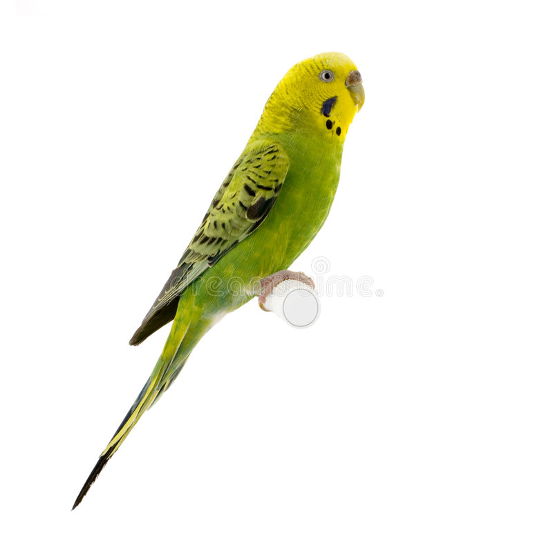 Yellow and green budgie stock photography
