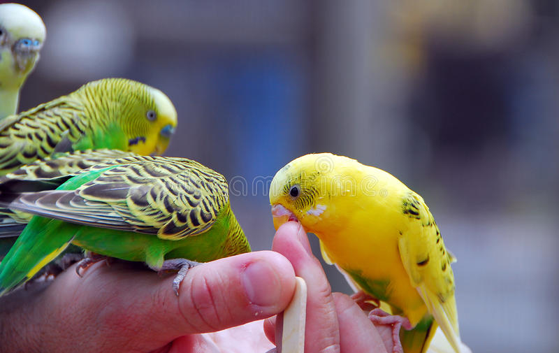Yellow green budgie parrot pet bird stock photos