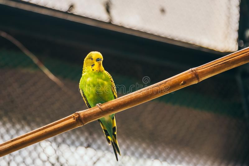 Yellow and green budgie standing on a tree branch. In an aviary royalty free stock photo