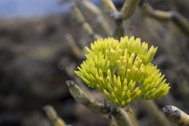 Yellow green cactus blossom. In el hierro, spain stock images