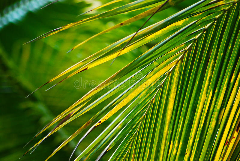 yellow green color of coconut leaf branch royalty free stock photo