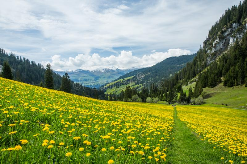Yellow and Green Dandelion Field and Snowy Mountains with Blue s stock image