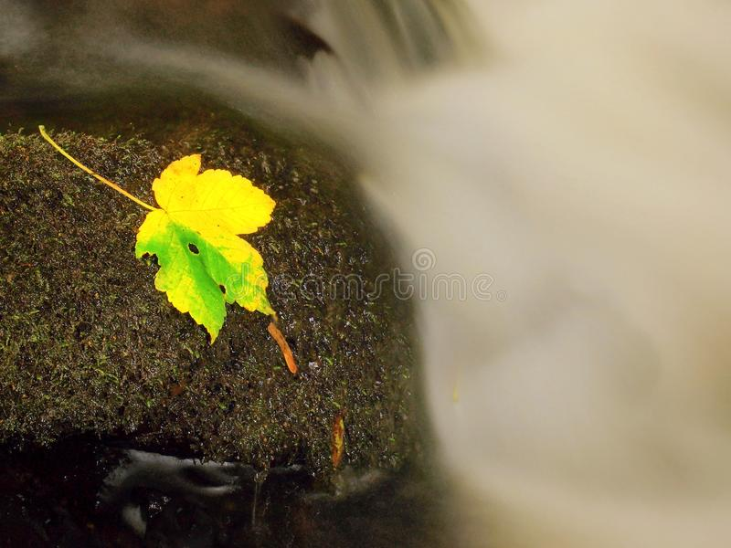 Yellow green death maple leaf in stream. Autumn castaway on wet mossy stone in cold blurred water of stream. Yellow green death maple leaf in stream. Autumn stock images