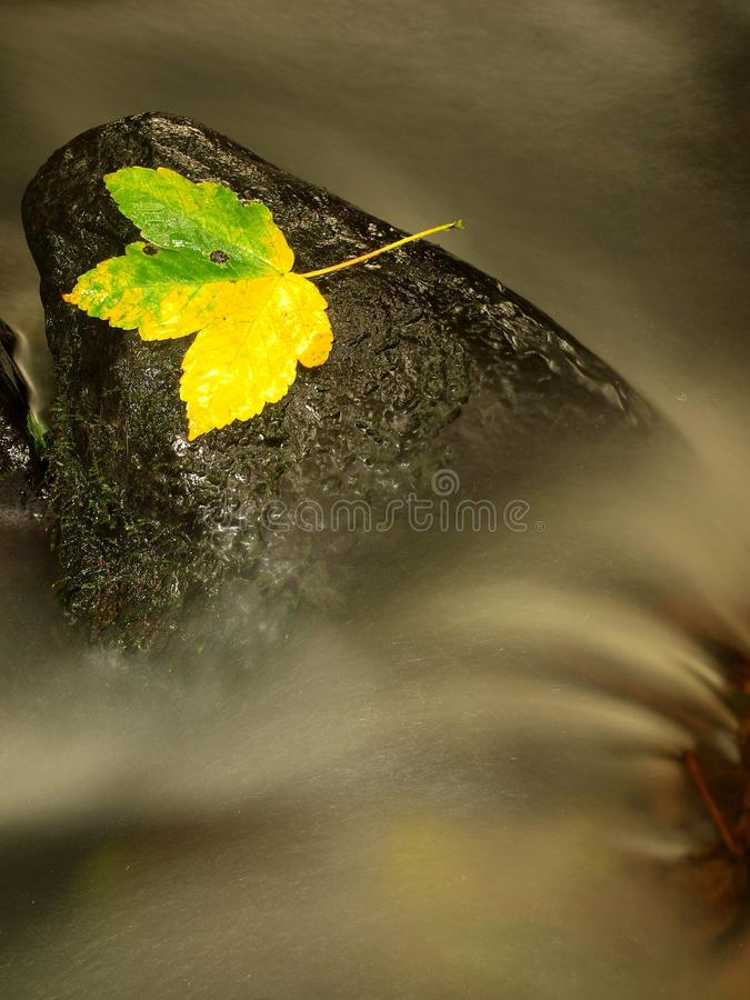 Yellow green death maple leaf in stream. Autumn castaway on wet mossy stone in cold blurred water of stream. Yellow green death maple leaf in stream. Autumn royalty free stock image