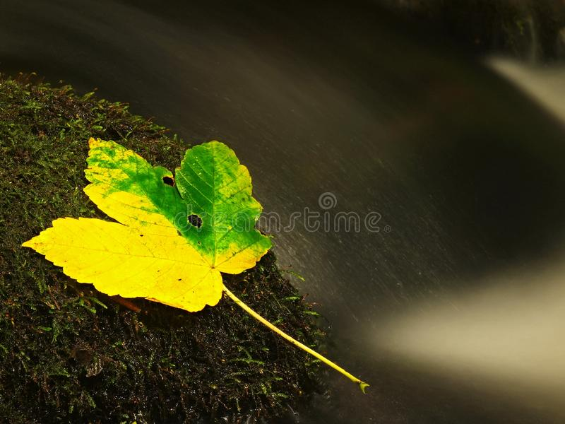 Yellow green death maple leaf in stream. Autumn castaway on wet mossy stone in cold blurred water of stream. Yellow green death maple leaf in stream. Autumn royalty free stock photography