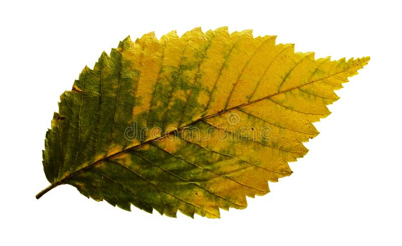 Yellow green dry autumn elm leaf isolated on white background. Texture close-up royalty free stock images