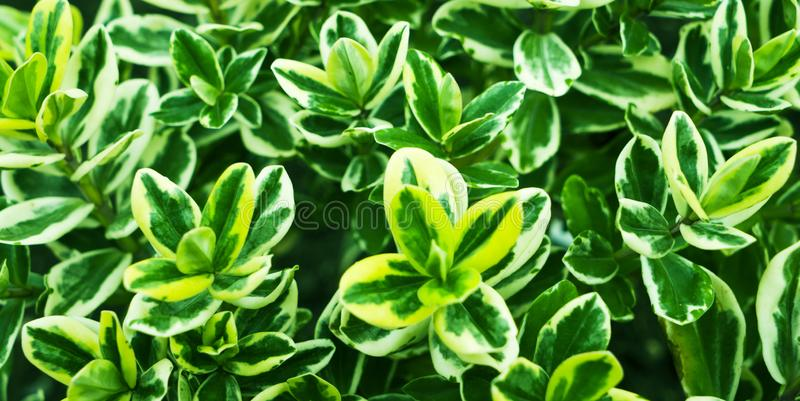 Yellow-green Emerald gold Euonymus fortunei royalty free stock photography