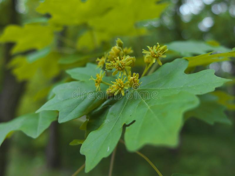 Yellow-green flowers of field maple Acer campestre. Small, yellow-green flowers of field maple Acer campestre growing on branche of the tree royalty free stock photo