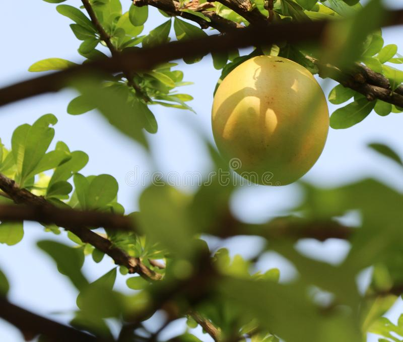 Yellow green fruit. Summer season blackground texture outdoor water green leaves royalty free stock photo