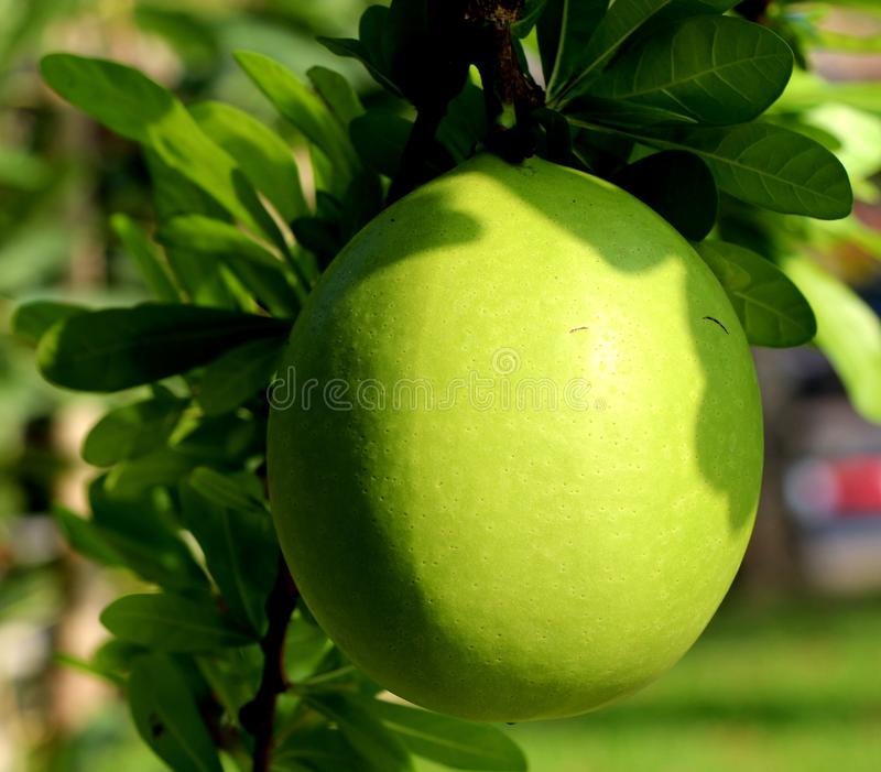 Yellow green fruit. Summer season blackground texture outdoor water green leaves stock photography