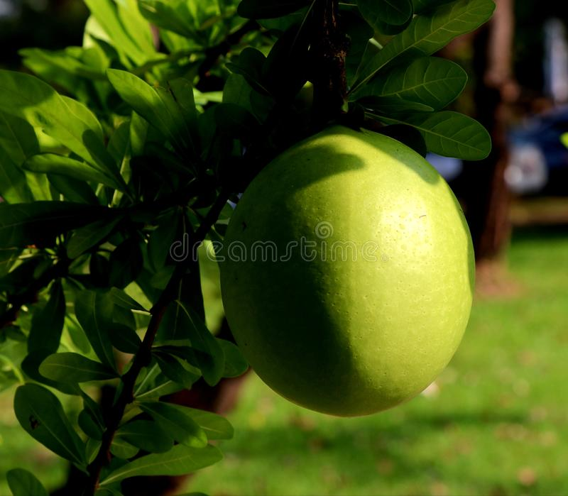 Yellow green fruit. Summer season blackground texture outdoor water green leaves royalty free stock photography