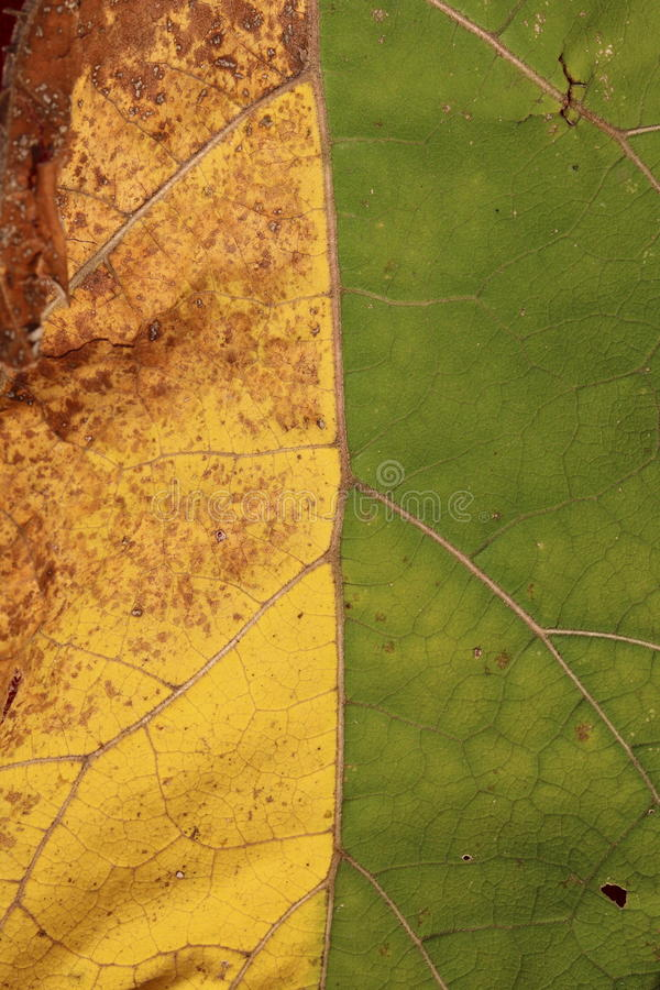 Yellow-green leaf as natural abstract background, symbolizing meeting of summer and autumn. Close-up royalty free stock images