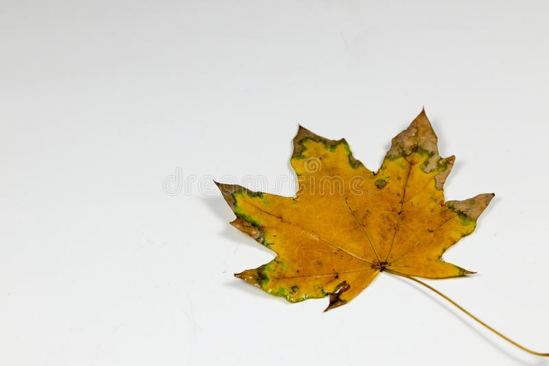 Yellow and green leaf royalty free stock photos