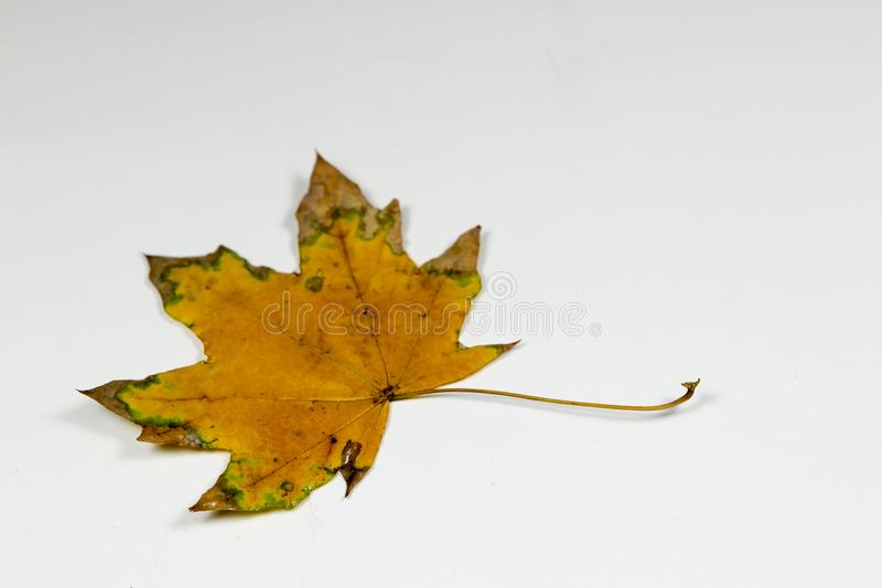 Yellow and green leaf royalty free stock photo