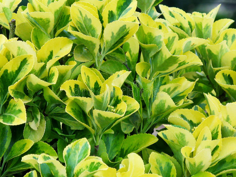 Yellow-green leaves of euonymus. Euonymus - garden shrub with decorative foliage and exotic fetuses stock images