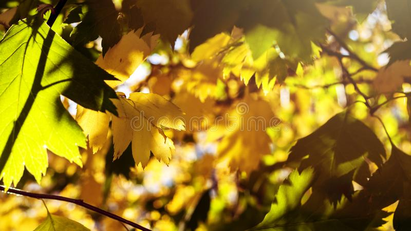 Yellow And Green Leaves Lit By The Sun Rays. Colorful Background. Autumn Golden Foliage. royalty free stock photo