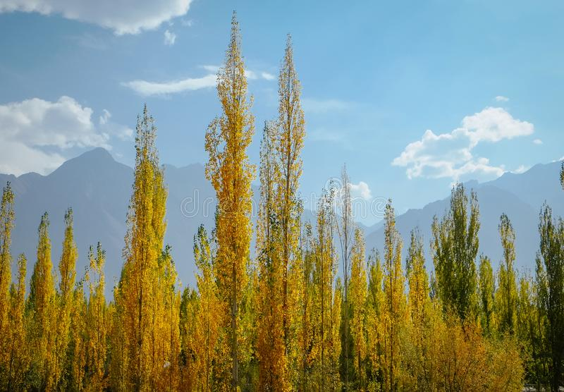 Yellow and green leaves poplar trees in autumn against blue sky and mountain stock photography