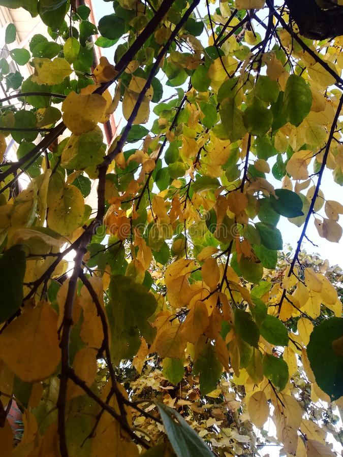 Yellow-green leaves on the tops of the tree. autumn colorful stock image