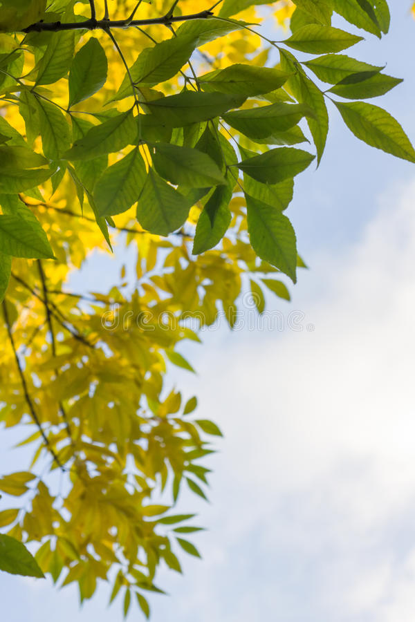 Yellow and green leaves on tree against blue sky
