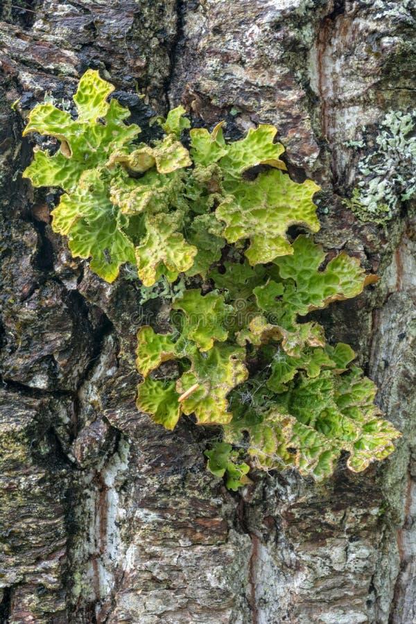 Yellow green lichen growing on tree bark stock image image of download yellow green lichen growing on tree bark stock image image of surface textured mightylinksfo