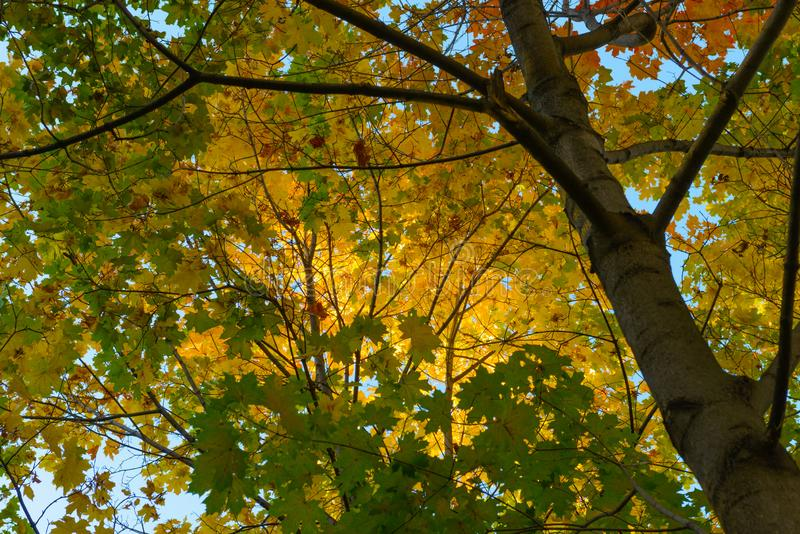Yellow and green maple leaves stock images